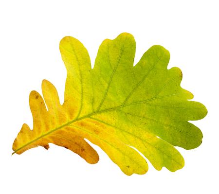 Oak tree leave isolated on white background Stock Photo