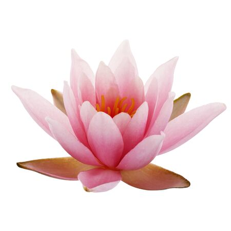 Pink Lotus or Water lily isolated on white background Imagens
