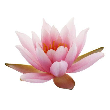 Lotus rose ou nénuphar isolé sur fond blanc