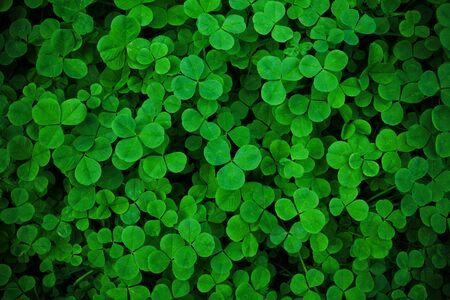 Green frech Shamrock clover. Trefoil. Background wallpaper