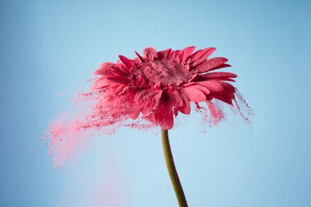 Flower with pink powder on blue background. Explosion cloud. Colorful dust explode. Power energy.