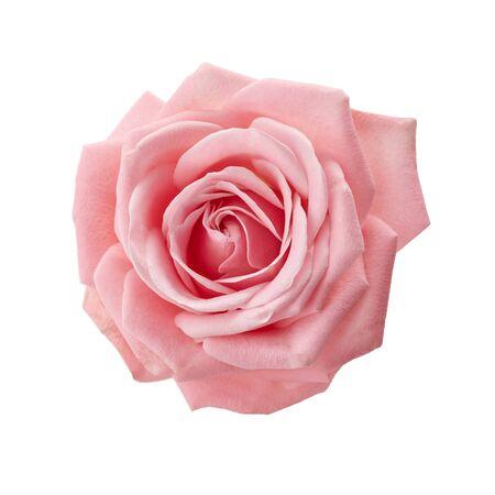 Schöne rosa Rose auf weißem Hintergrund. Rosa Rosenblüte.