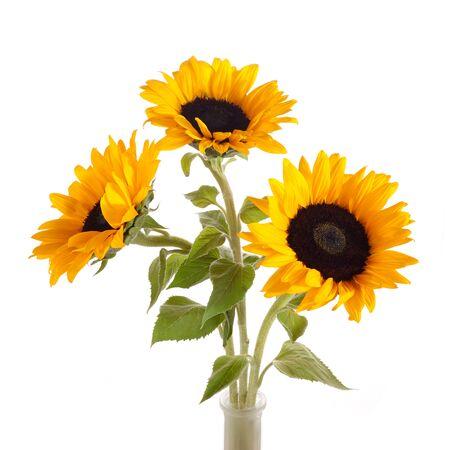 Sunflowers isolated on white background. Seasonal nature background. Stock Photo