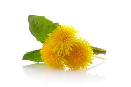 Dandelion yellow flowers isolated on white background. Spring background.