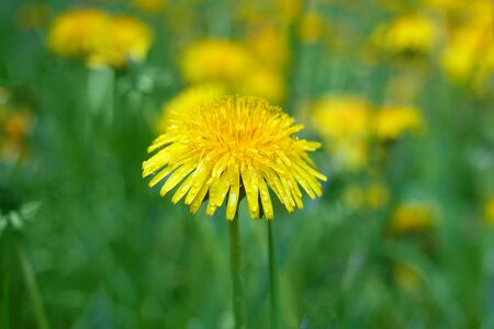 Blooming yellow dandelions in the spring medow