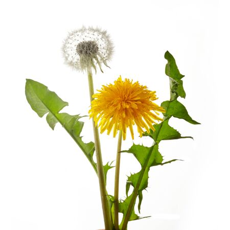 Dandelion flower with leaves isolated on white background.