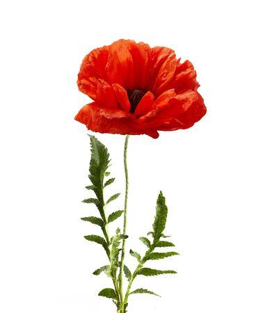 Poppy isolated on white background. Wild spring wildflower