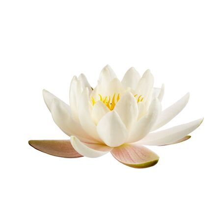 White water lily or lotus isolated on white background Stock Photo
