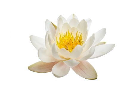 White water lily or lotus isolated on white background