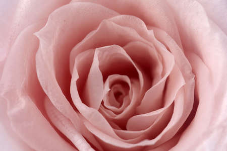 Pink roses background. Close up roses bunch.