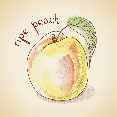 Vector illustration of vintage peach, painted in watercolor Vector