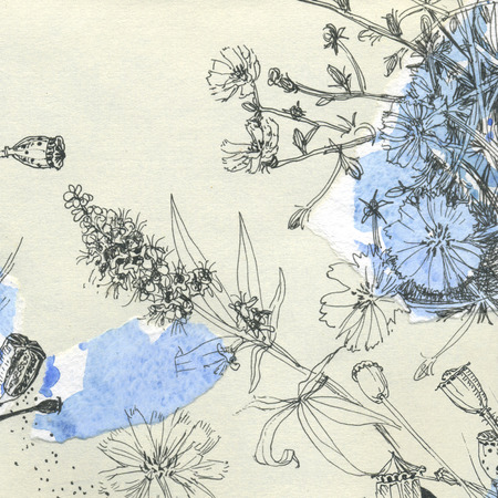 herbarium: Botanical watercolor sketches chicory and poppy and grass