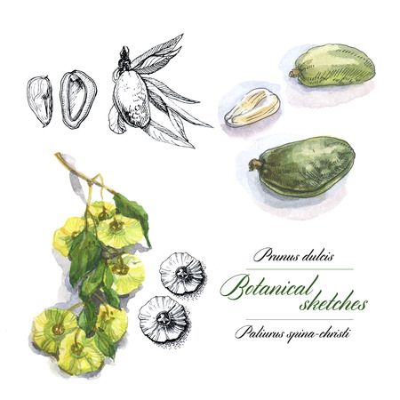 herbarium: Botanical watercolor sketches of nuts and leaves