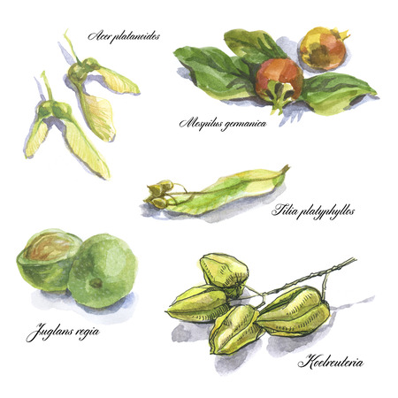 herbarium: Botanical watercolor sketches of fruits and leaves