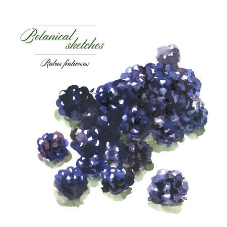 raceme: Botanical watercolor sketch of ripe blackberries