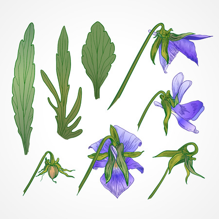 Vector vintage botanical illustration of viola tricolor Vector