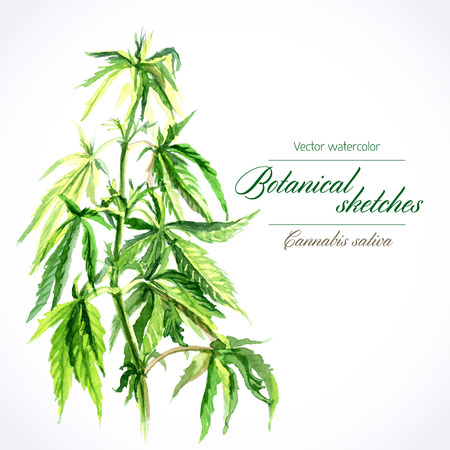 botanical watercolor sketches of Canabis sativa Illustration