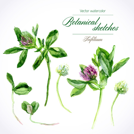 herbarium: Vector botanical watercolor sketches of red clover