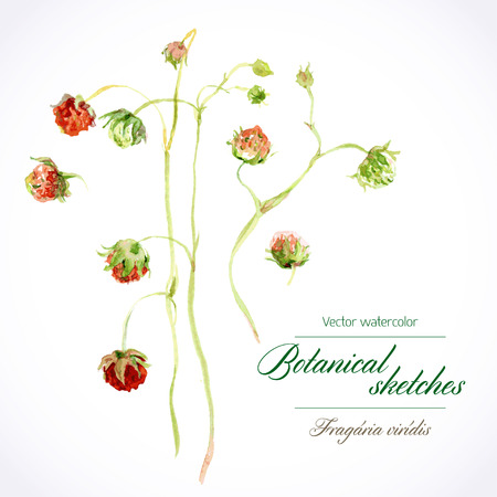 berry: Vector watercolor botanical illustration. Wild strawberries, stems from the berries of different maturity Illustration