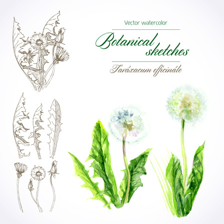 botanical watercolor sketches of dandelion field