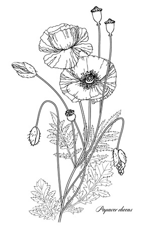 Vector illustration of a linear botanical illustration. Flowers, buds and poppy seed boxes