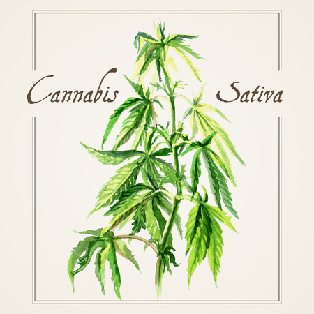 Vector botanical watercolor sketches of Canabis sativa