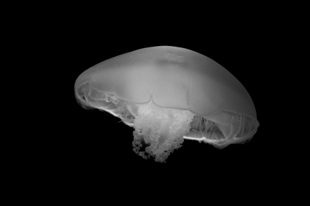 b w: B W Jelly Fish in Monterey Bay Aquarium Stock Photo