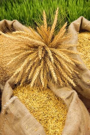 sacks: Wheat put in sacks Stock Photo