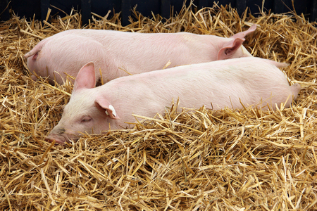 piglets: Piglets lying in the hay