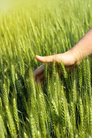 cereals holding hands: Mans hand touching green wheat in the field