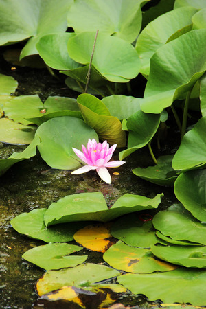 Pink water lily in the lake Stok Fotoğraf