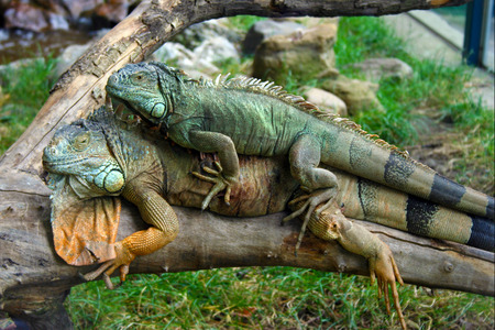 Two iguanas lying on top of each other