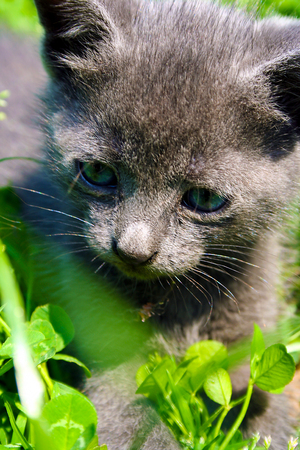 Gray kitten playing in the grass