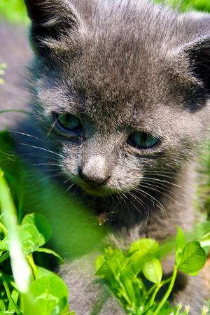Gray kitten spelen in het gras