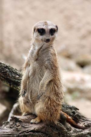 Meerkat is standing on the wooden branch and looking