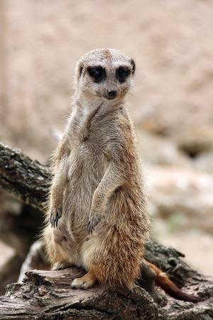 Meerkat staat op de houten tak en kijken