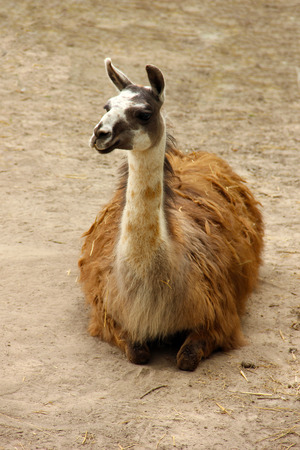 Adult llama lying on the ground