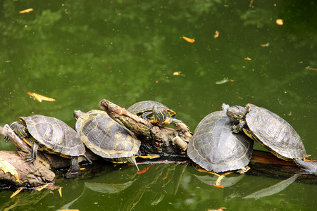 Turtles standing on a wooden branch in the pond.