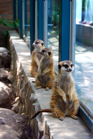 Three meerkats standing by the window in the zoo Stok Fotoğraf