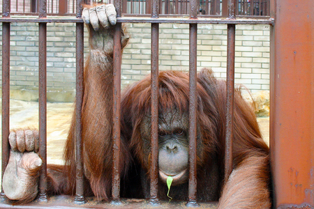 Rode orang-oetan in een dierentuin kooi Stockfoto