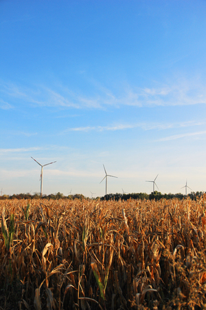 Windmill farm in the center of corn filed for renewable electric energy production