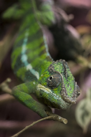 Closeup on a green chameleon with focus on his eye Stok Fotoğraf