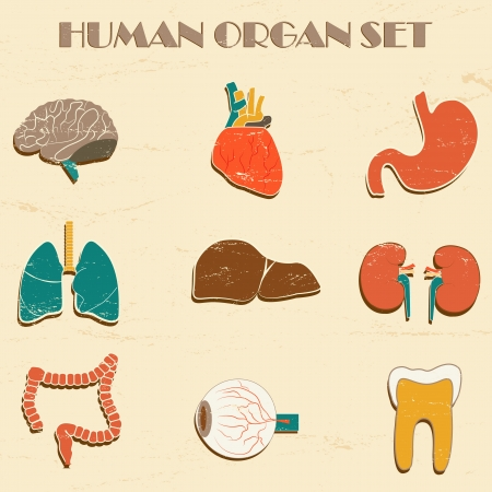 Internal organs  Vector Illustration, eps10, contains transparencies  Vector