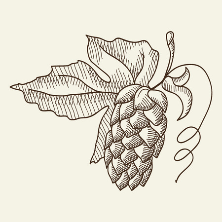 humulus lupulus: Lager beer. Twigs hop background. Sketch. Hand drawing.  Design concept. Vector Illustration, eps10, contains transparencies.