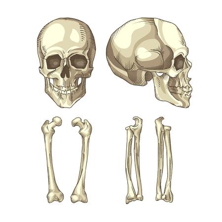 eye sockets: Anatomically correct medical illustration of the human skull and bones
