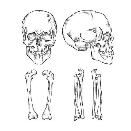 anatomically: Anatomically correct medical illustration of the human skull and bones isolated on the white background Illustration