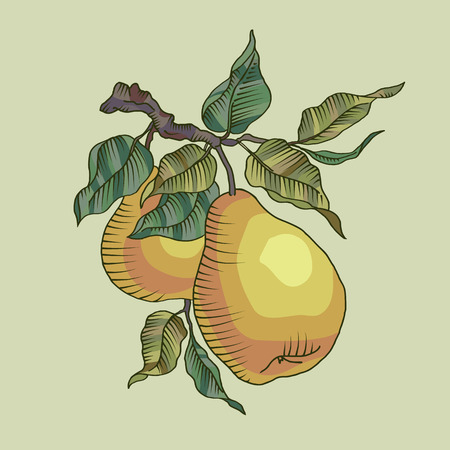 harvesting: Vector illustration of pear and leaf on the branch. Fresh fruit on a tree