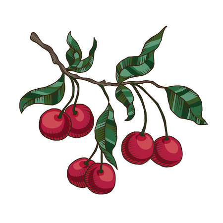 Vector hand drawn cherry branch with cherries and leaves isolated on the white background