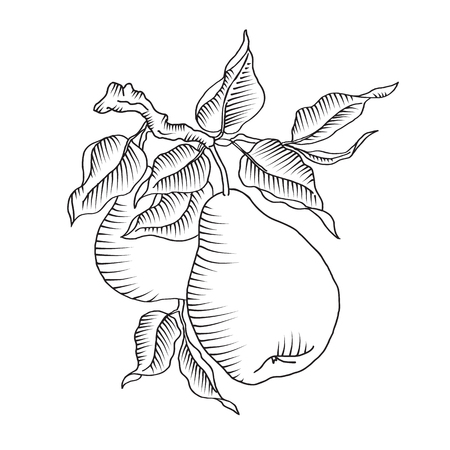 Vector illustration of pear and leaf on the branch. Fresh fruit on a tree