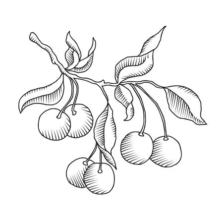 cherries isolated: Vector hand drawn cherry branch with cherries and leaves isolated on the white background